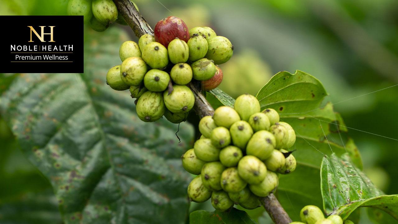 zielona kawa właściwości